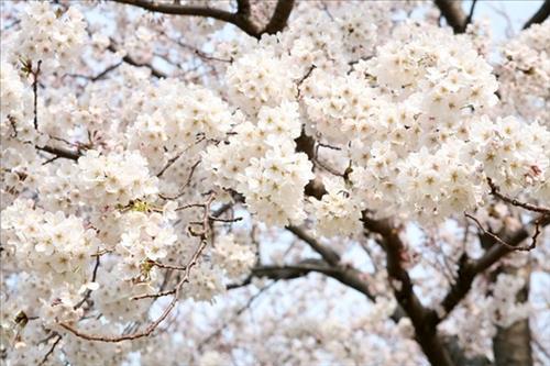 Cỏ may hoa